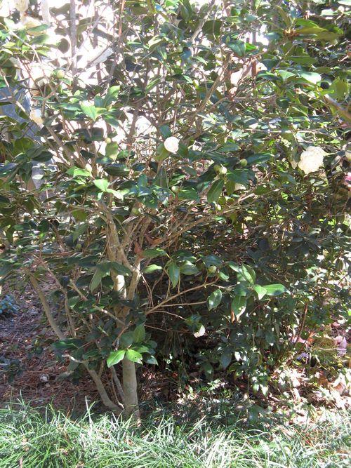 Massee Lane Camellia Gardens Lois Coker