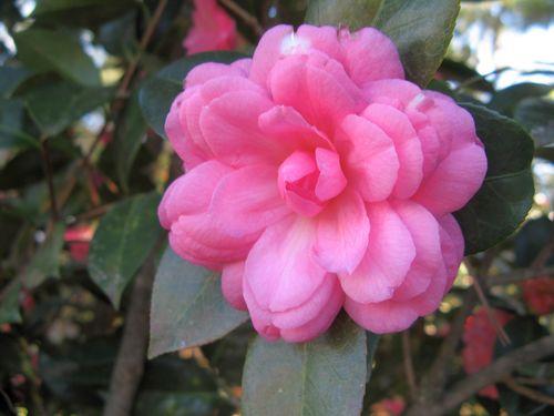 Massee Lane Camellia Gardens Miss Tinyton Princess