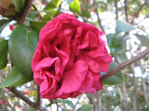 Massee Lane Camellia Gardens Woodville Red