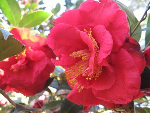Massee Lane Camellia Gardens J. Morgan Sprott