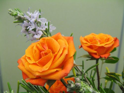 Orange roses and blooming rosemary