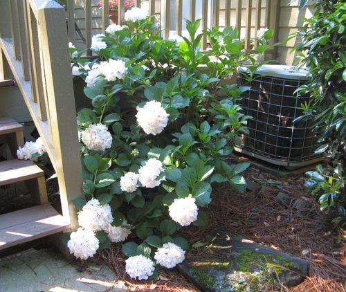 Henry County Georgia Garden Tour 2012 white hydrangea shrub