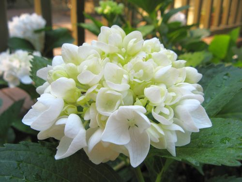 Henry County Georgia Garden Tour 2012 white hydrangea flower closeup