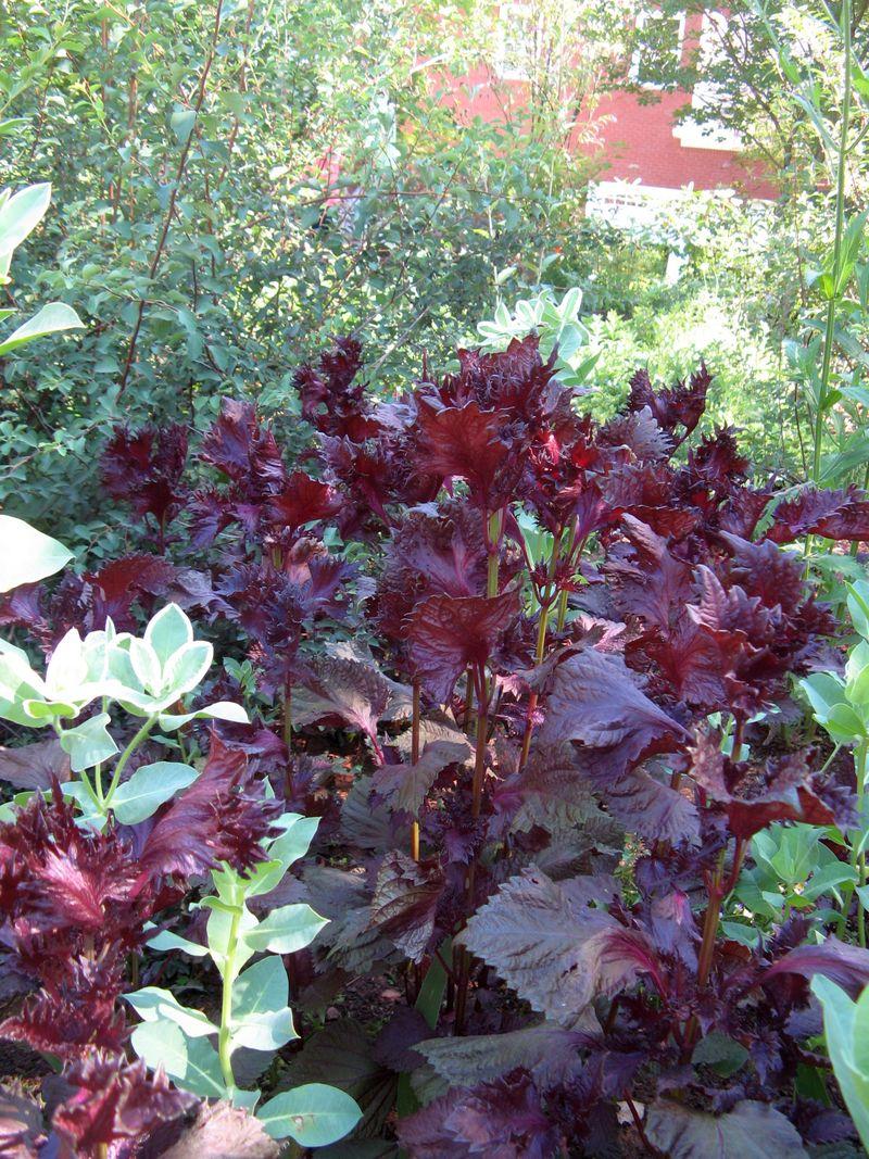 Dow Lake Henry County Georgia Garden Tour 2012 Beefsteak Plant Perilla