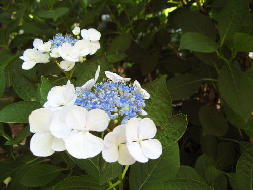 Dow Lake Henry County Georgia Garden Tour 2012 lacecap hydrangea