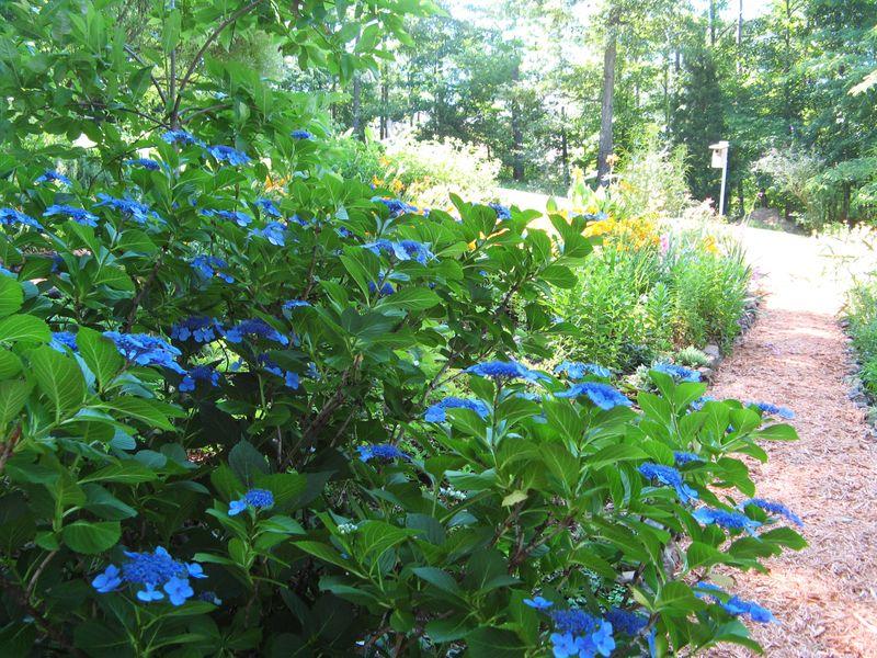 Dow Lake Henry County Georgia Garden Tour 2012 lacecap hydrangea shrub