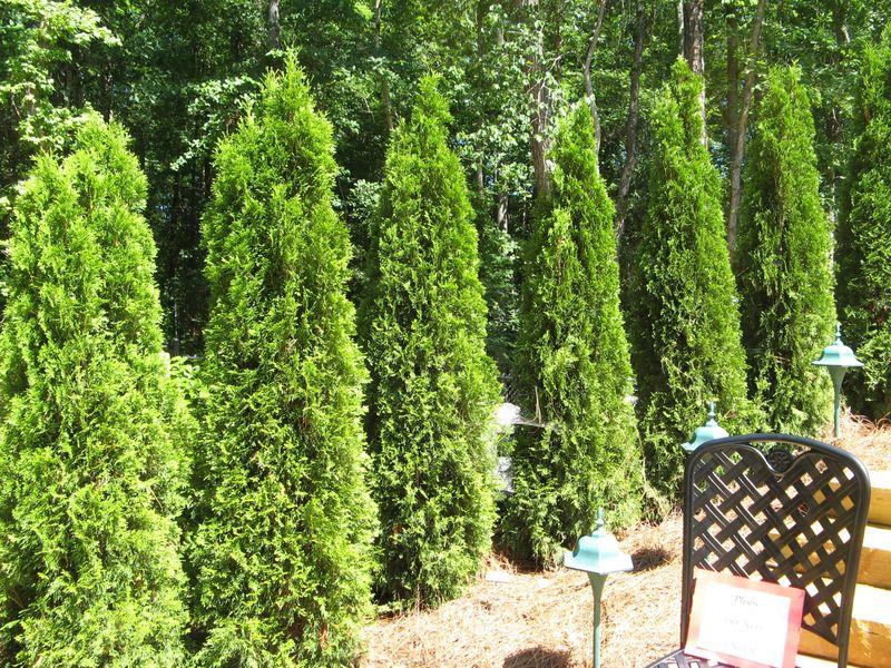 Garden Tour Henry County Georgia 2012 thuja occidentalis