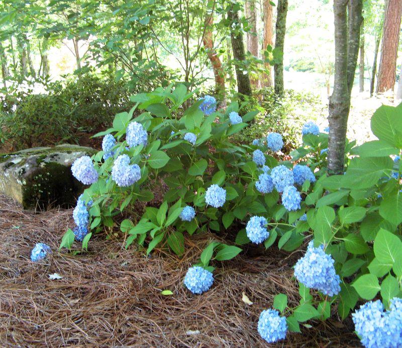 Garden Tour Henry County Georgia 2012 blue hydrangea