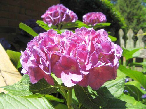 2012 Henry County Georgia Garden Tour purple pink hydrangea