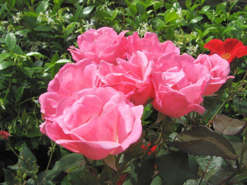 Athens Garden Tour 2012 pink knockout roses