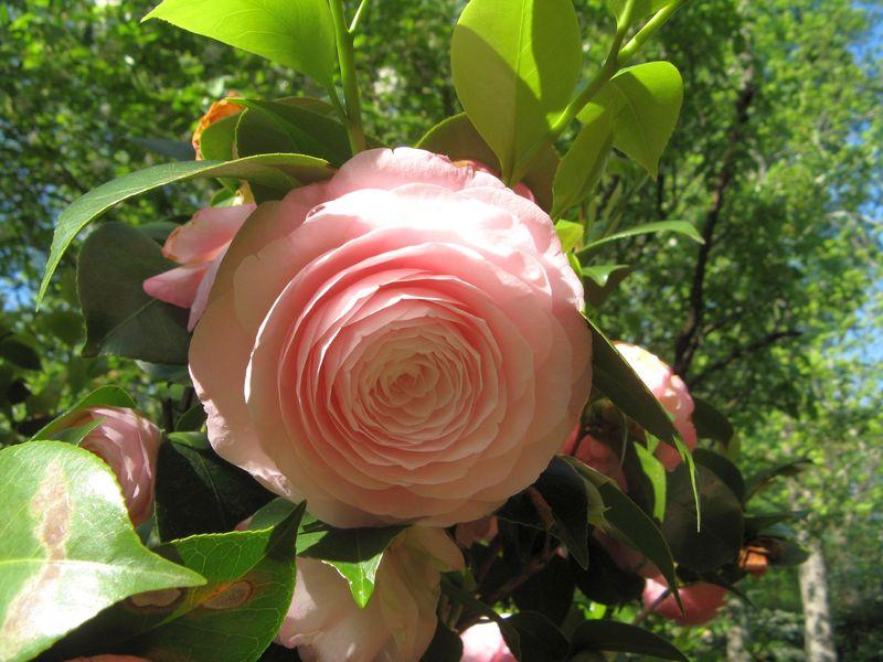 Athens Georgia Garden Tour 2013 pink camellia closeup 1