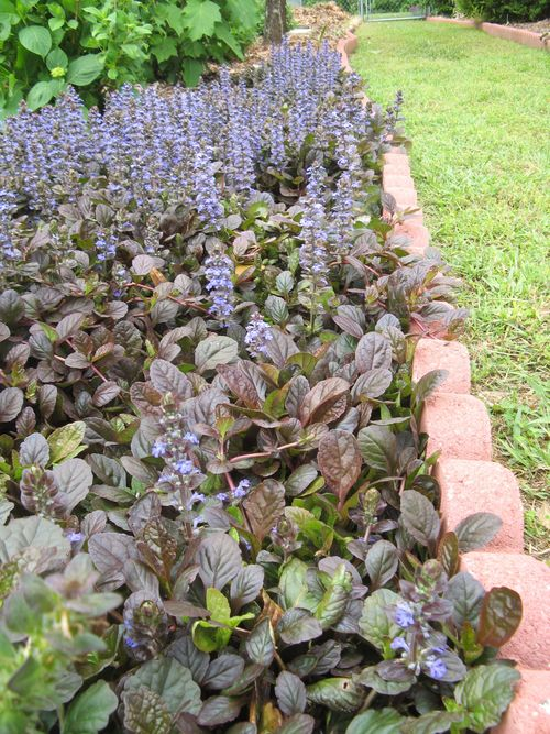 My Garden May 2013  back garden ajuga