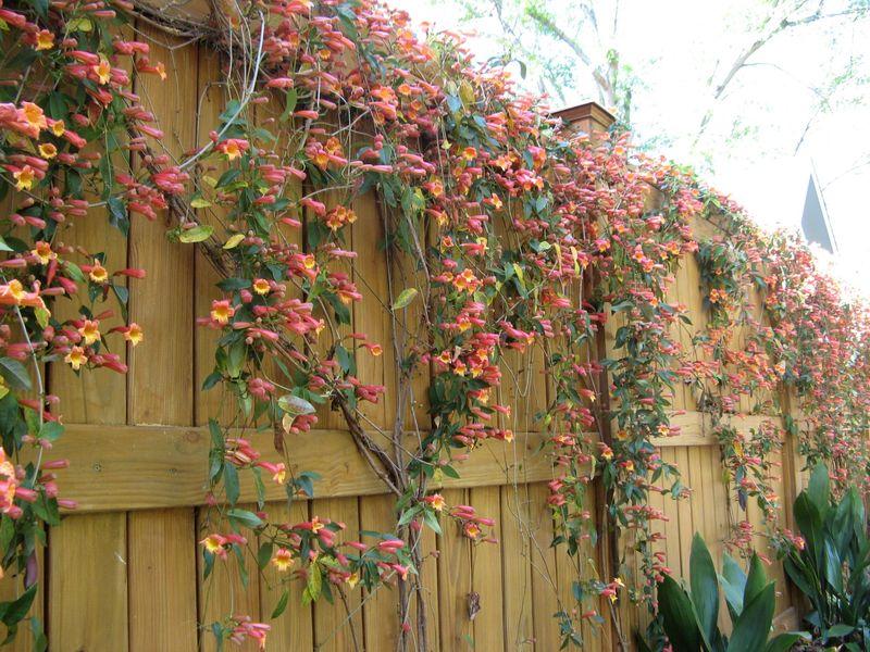 Athens Georgia Garden Tour 2013 crossvine tangerine dream fence