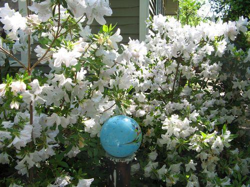 Athens Georgia Garden Tour 2013 white azalea