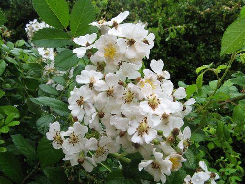 Macon Georgia Garden Tour 2013 white rose closeup