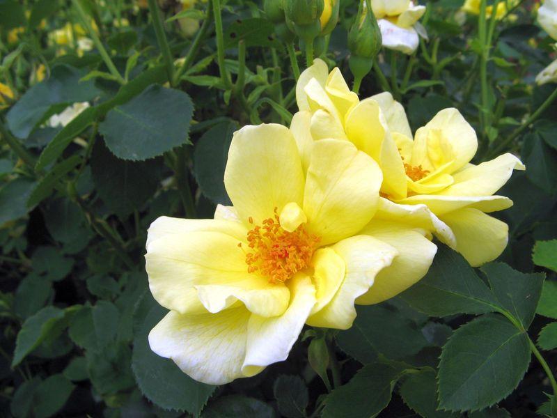 My Garden May 2013 back garden yellow rose