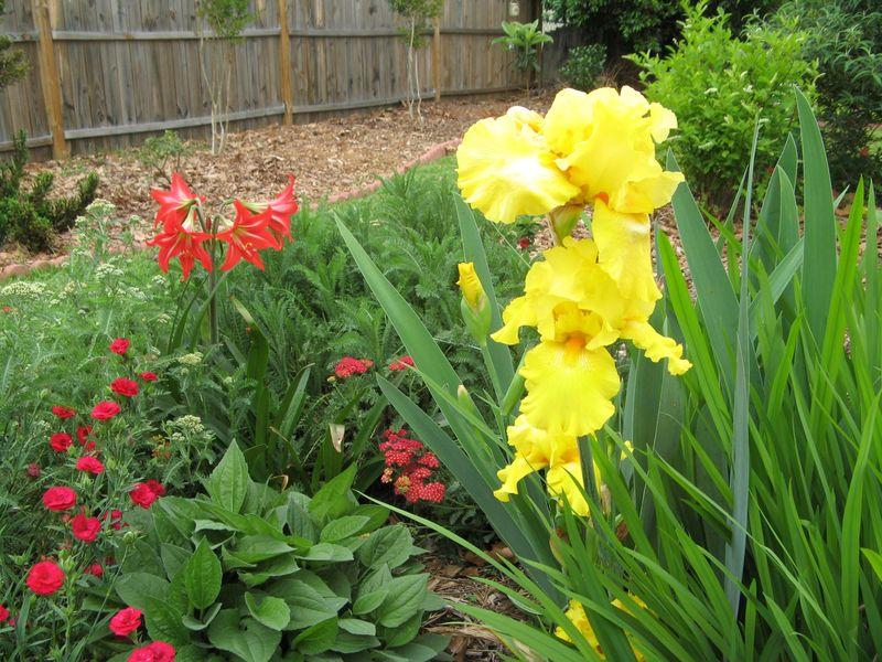My Garden May 2013  back garden yellow iris