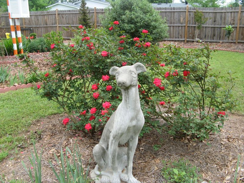 My Garden May 2013  back garden dog statue roses