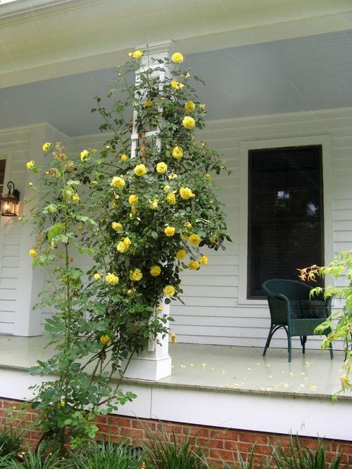 Macon Georgia Garden Tour 2013 yellow climbing rose
